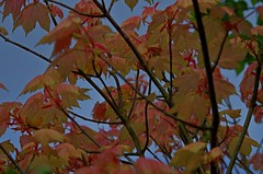 1389-31L (Lozarithm) Tags: oldforge leaves acers maples pentax zoom 55300 hdpda55300mmf458edwr k50