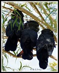 Red-Tailed Black Cockatoo (Calyptorhynchus banksii) family (debjohnson3) Tags: perching largebirds birdfamily westernaustralia feathers black australianbirds eucalyptustree tree cockatoos blackcockatoos redtailedblackcockatoos