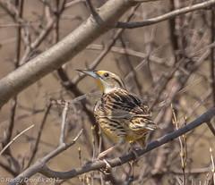 A slippery customer (rdroniuk) Tags: birds passerines smallbirds meadowlark easternmeadowlark sturnellamagna oiseaux passereaux sturnelledesprés