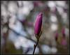 Tulip Tree / NW Rain (Ernie Misner) Tags: f8andbringaraincoat tuliptree bokeh pointdefiancepark pointdefiance tacomawa tacoma washington tamron90 macrolens erniemisner nikon nikond810 lightroom nik capturenx2 photoshopcc flower closeup