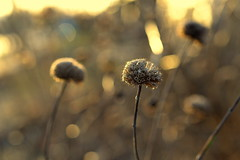 be who you are (joy.jordan) Tags: seedheads light texture sunset bokeh nature beautyindeadbrownthings springcomeslateinwisconsin