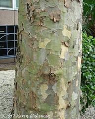 Challenge Friday, week 13, theme bark (3) - London plane tree (karenblakeman) Tags: caversham uk challengefriday cf17 bark march 2017 tree londonplane