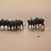 Wild water buffalos, Kaziranga National Park, Assam, India