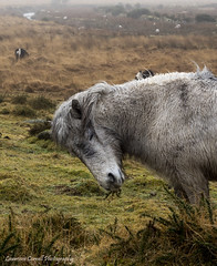 Just taking a moment. (lawrencecornell25) Tags: dartmoor dartmoornationalpark dartmoorpony horse equine wildlife olympus