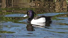 Kuifeend- Tufted duck (Cajaflez) Tags: waterbird watervogel eend duck canard ente kuifeend tuftedduck tuftingente morillon spiegelingen reflections paterns patronen water male ngc npc coth5