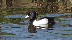 Kuifeend- Tufted duck (Cajaflez) Tags: waterbird watervogel eend duck canard ente kuifeend tuftedduck tuftingente morillon spiegelingen reflections paterns patronen water male ngc npc coth5