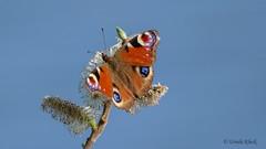 Tagpfauenauge (Oerliuschi) Tags: butterfly schmetterling falter tagfalter pfauenauge natur bunt blauerhimmel zweig blüten nahaufnahme lumixgh5 panasonic augenflecken aglaisio
