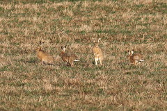 Wiltshire Hares (Explored) (Robin M Morrison) Tags: hare wiltshire