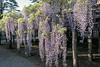 DSC_1578 (sayo-tsu) Tags: 埼玉県 春日部市 kasukabe saitama wisteria 藤 特別天然記念物 牛島のフジ