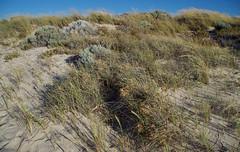 Poa pubinervis, Spinifex longifolius, Ammophila arenaria ssp arenaria and Olearia axillaris, Swanbourne Beach, Perth, WA, 06/12/16 (Russell Cumming) Tags: plant weed ammophila ammophilaarenaria ammophilaarenariaarenaria poa poapubinervis spinifex spinifexlongifolius poaceae olearia oleariaaxillaris asteraceae swanbournebeach perth westernaustralia