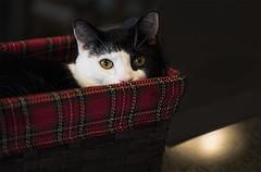 Rousseau (Chatham Sound) Tags: cats portraits d5 105mm nikon