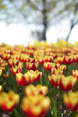 Where's Wally? (ai3310X) Tags: none supertakumar 50mmf14 tulip 昭和記念公園 チューリップ