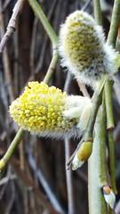 Anglų lietuvių žodynas. Žodis pussy-willow reiškia n  bot. gluosnis, karklas; žilvitis 2 (gluosnio, karklo) kačiukai lietuviškai.