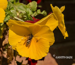 Common Wasp (Alanchippyh) Tags: flower panse vespula vulgaris vespidae green black yellow outdoor