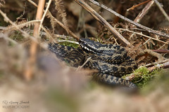 Adder - Male - Vipera berus (wildlife_photo) Tags: nature vipera berus adder garry smith cannock staffordshire snakes reptile cannon viper male photography venom springwatch bbc