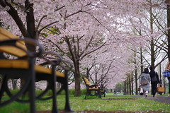 KS IMGP3992 (pentaxsasjapan) Tags: japan tokyo 舎人公園 sakura couple picnic pentax k1 dfa2470mm