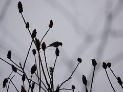 As good as it got (grongar) Tags: bird robin sumac
