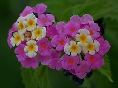 Lantana para alegrar el domingo (portalealba) Tags: flores cómpeta axarquía málaga españa spain portalealba pentax pentaxk50 1001nights 1001nightsmagiccity
