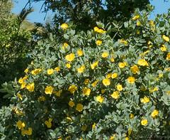 Fremontia flowers (J_Richard_Link) Tags: fremontia fremontodendroncalifornicum plant theruthbancroftgarden flower nature yellow