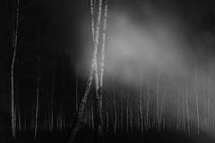 echoes (Mindaugas Buivydas) Tags: lietuva lithuania bw tree trees forest birch dark darkness mood moody spring march mindaugasbuivydas
