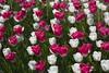 _DSC0796 (Riccardo Q.) Tags: parcosegurtàtulipani places parco altreparolechiave fiori tulipani segurtà