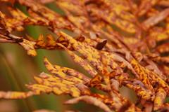 Choosing color... (Sergei P. Zubkov) Tags: autumn september 2016 leaves fern