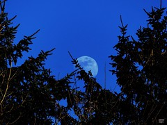 Here Comes the Moon (caren (Thanks for 1.5 Mio+ views)) Tags: moon bluemoon daymoon laluna blue bluesky trees mond mystic