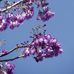 Jacaranda caucana (Karen Blix) Tags: bignoniaceae jacaranda jacarandacaucana santodomingo dominicanrepublic spring