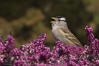 White-crowned Sparrow | Bruant à couronne blanche
