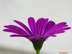 Purple Osteospermum Flower (Anton Shomali - Thank you for over 900K views) Tags: garden backyard beauty popular trending art panasonic iam day beautiful beautifulday purple osteospermum flower purpleosteospermumflower daisyflowers daisy flowers nature season spring fall plant light sun bright white daisybushes hybrid green single close up closeup seeds african house yard sky pink