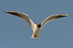Black headed gull (Ratsiola) Tags: laridae birds nature wildlife environment naturalworld birdsinflight gulls blackheadedgull blue beauty beautiful eyes beaks bills