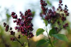 Printemps_20170407_030 (bourjean29) Tags: france bretagne britanny finistere jean bourgeois canon 5dmk2 fleur arbre fleurs des champs 70200mm 35mm1 4