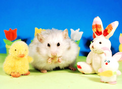 Easter Dinner ~ Bubu (pyza*) Tags: gucio bubu hamster hammie chomik syrianhamster animal pet rodent critter furry funny fluffy easter bunny holiday holidays