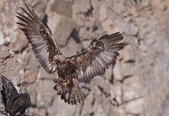 Golden Eagle and rabbit (knobby6) Tags: goldeneagle raptor birdofprey nest rabbit