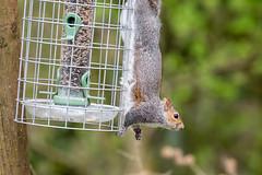 DSC_3466 (Keith Grafton) Tags: leightonmoss squirrel