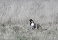 Greater Sage-Grouse (Christopher Lindsey) Tags: greatersagegrouse adult male breeding lek lincolncounty spring washington birds birding