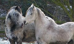 A sweet moment (joeke pieters) Tags: 1320737 panasonicdmcfz150 paard paarden horse horses pferd pferde cheval chevaux sweet tender