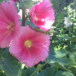 Hollyhocks Are We All Three thumbnail
