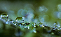 Eternal (jeanmarie's photography) Tags: jeanmarieshelton jeanmarie bokeh green leaves droplets drops shiny macro upclose garden nikon nature nikond810 tamron 90mm