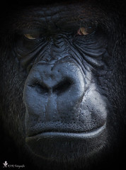 Bokito says, look straight into my eyes. (RVRFotografie) Tags: gorilla strong animal impressive powerful commanding massive