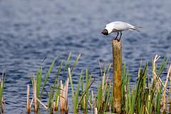 Black Headed Gull (Keith Grafton) Tags: leightonmoss blackheaded gull birds