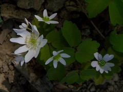Rue Anemone (Dendroica cerulea) Tags: rueanemone thalictrumthalictroides thalictrum ranunculaceae ranunculales white flower plant garden spring highlandpark middlesexcounty nj newjersey
