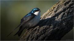 Tree Swallow - Explored April 17, 2017 (Chris Lue Shing) Tags: nikond7100 nikonafs70300f4556gvr bird aurora ontario nokiidaatrail mckenziemarsh wetland canada tree log nature ©chrislueshing afsnikkor70300mm14556g nikon nikkor 70300 70300mm animal swallow treeswallow d7100