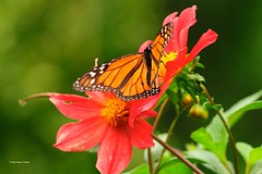 DSC_1528Monarchvlinder (Daunus plexippus)