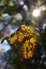 10194187 (BS-Foto) Tags: autumn sun sol leaves automne soleil leaf herbst 20mm blatt sonne bltter 20mmf28 nx200 20mmorless samsungnx samsungnx200 samsungnx20mm28 bsfoto samsungnx20mmf28