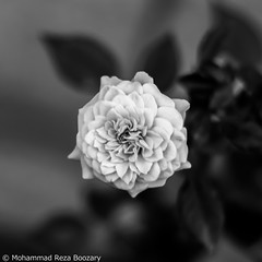 B&W Flower (Mohammad Reza Boozary) Tags: blackandwhite bw flower beautiful photography photo blackwhite iran pentax m42 zenit tehran helios  littleflower k50      pentaxart pentaxk50