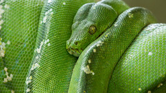 Coiled (Peter Nijenhuis) Tags: bali tree green indonesia snake balireptilepark dendrelaphispunctulata