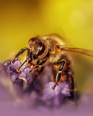 The Bee (theThenSir) Tags: flower macro nature up closeup insect close leg working wing bee honey
