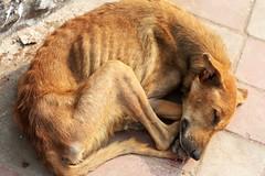 Starving Buddha (Mayank Austen Soofi) Tags: dog sleep buddha delhi dream size stray hungry thin zero walla starving