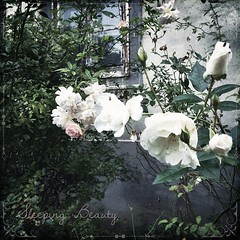 Sleeping Beauty. | Dornröschen.  #sleepingbeauty #dornröschen #Rose #Old #autumn #travel #travelblog #travelingram #traveltheworld #nature #Schloss #schlossquetz #castle #quetzdölsdorf #enjoy #herbst #hooray #lovewhatyoudo #ignice #igtravel